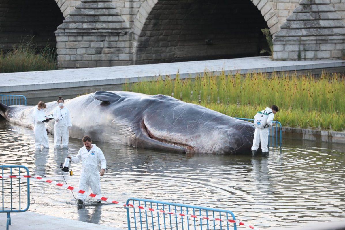 El animal es una escultura hiperrealista de más de 15 metros y 1.000 kilos de peso. Foto: Ayuntamiento de Madrid.