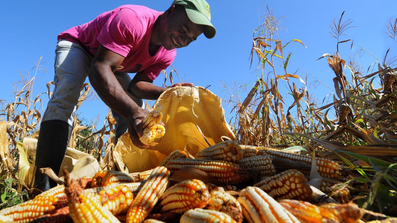 Un agricultor recolecta maíz en República Dominicana (Foto: Presidencia Rep. Dominicana)