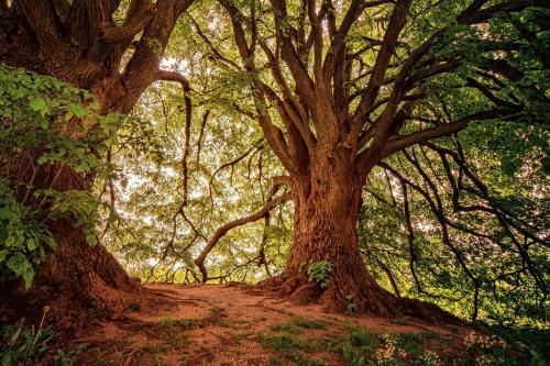 El mayor diámetro de los conductos que forman los grandes árboles los convierten en más vulnerables.