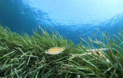 La posidonia es una planta endémica del Mediterráneo.