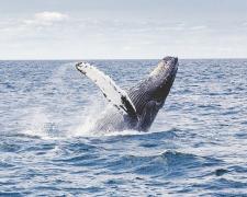 Actualmente existen 33 especies de cetáceos en aguas europeas